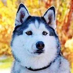 Net Worth of Maska the Husky